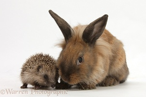 Baby Hedgehog and young Lionhead-cross rabbit