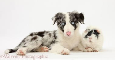 Blue merle Border Collie puppy and Guinea pig