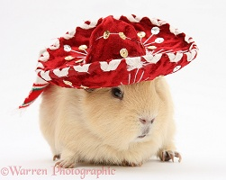 Yellow Guinea pig wearing a Mexican hat