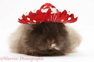 Shaggy Guinea pig wearing a Mexican hat