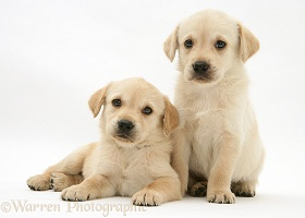 Retriever-cross pups