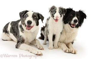 Blue merle and Black-and-white Border Collies and pup