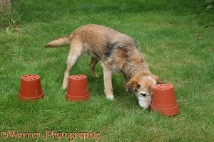 Dog playing flowerpot treat seek game