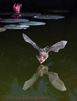 Brown Long-eared Bat taking a drink