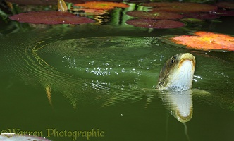 Koi Carp surfacing