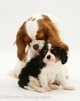King Charles Spaniel bitch and pup