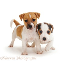 Jack Russell Terrier pups, 6 weeks old