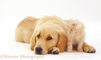 Golden Retriever pup with cream kitten