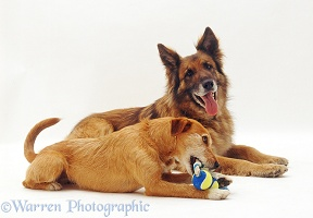 Alsatian and collie x terrier