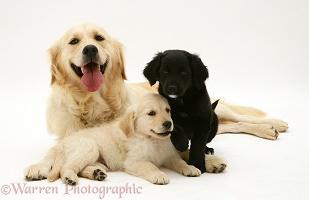 Golden Retriever with two pups