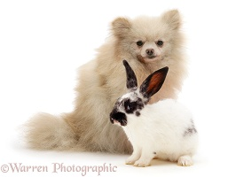 Pomeranian and black-and-white spotted rabbit