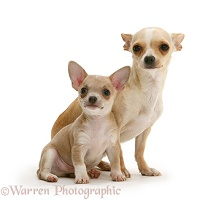 Smooth-haired Chihuahua bitch and pup