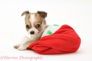 Chihuahua puppy in a Santa hat