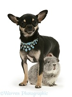 Black-and-tan Chihuahua bitch and silver Guinea pig