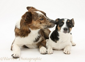 Mongrel dog and Jack Russell