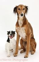 Saluki Lurcher and Jack Russell