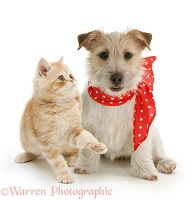 Ginger kitten with Jack Russell in a red neckerchief