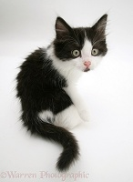 Black-and-white kitten looking back over its shoulder