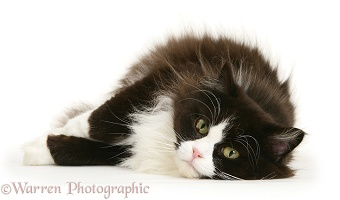 Fat black-and-white cat