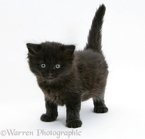 Black kitten, 7 weeks old, standing