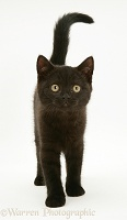 Black British Shorthair kitten