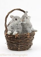Silver baby rabbits kissing in a wicker basket