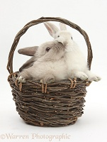 Baby rabbits kissing in a wicker basket
