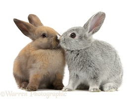 Baby rabbits kissing