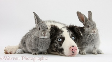 Border Collie pup and two silver baby rabbits