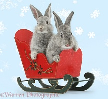 Two silver baby rabbits in a toy sledge