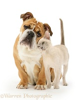 Bulldog and young Burmese cat