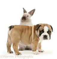 Bulldog pup and colourpoint rabbit