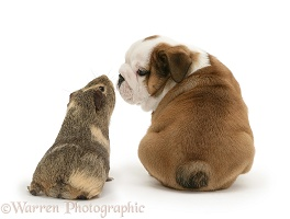 Bulldog pup and yellow agouti Guinea pig