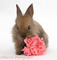 Baby Lionhead-cross rabbit with pink carnation