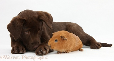 Chocolate Labrador pup and red Guinea pig