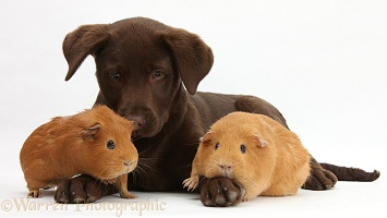 Chocolate Labrador pup and red Guinea pigs