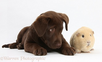 Chocolate Labrador pup and yellow Guinea pig