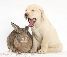 Yellow Labrador Retriever pup, 8 weeks old, and rabbit