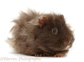 Shaggy bad-hair-day Guinea pigs