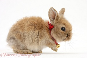Baby Lionhead-cross rabbit wearing a bell