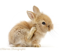 Baby Lionhead-cross rabbit scratching