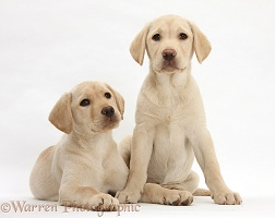 Yellow Labrador Retriever puppies, 10 weeks old
