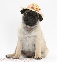 Fawn Pug pup, 8 weeks old, wearing a straw hat