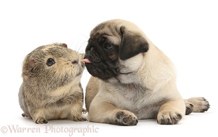 Fawn Pug pup, 8 weeks old, and Guinea pig