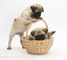 Fawn Pug pups, 8 weeks old, playing with a wicker basket