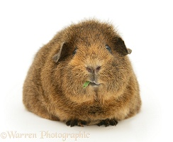 Female red agouti Guinea pig