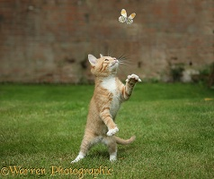 Ginger kitten swiping at a passing Orange-tip Butterfly