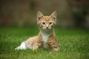 Ginger kitten lounging on a lawn