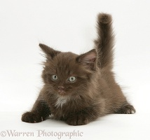 Chocolate fluffy kitten