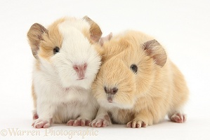 1 day old baby Guinea pigs
